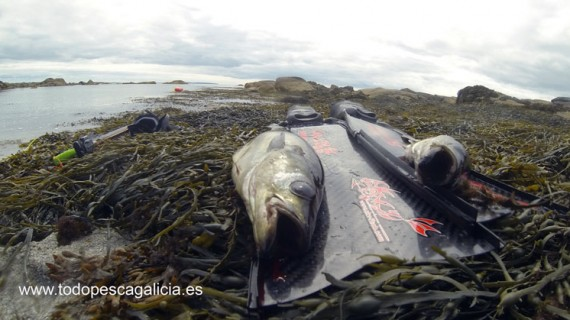 Spearfishing in Ireland 2014