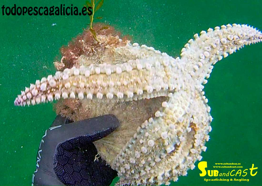 Estrella-de-mar-comiendo-vieira