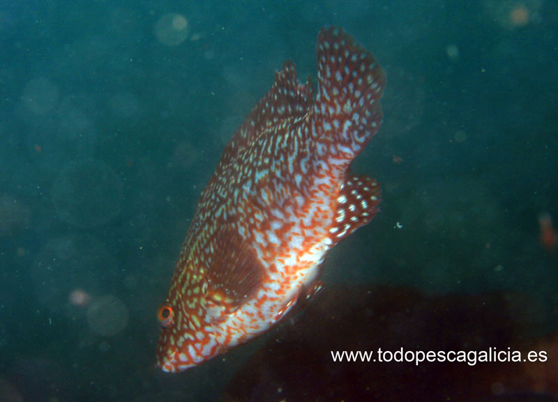 Ballan wrasse red and white
