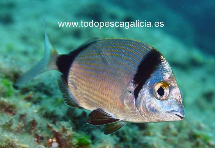 diplodus-vulgaris1