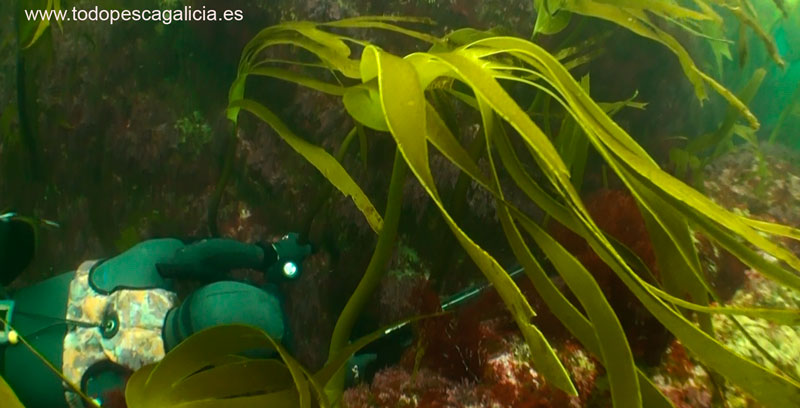 grieta-sargo-con-pescasub